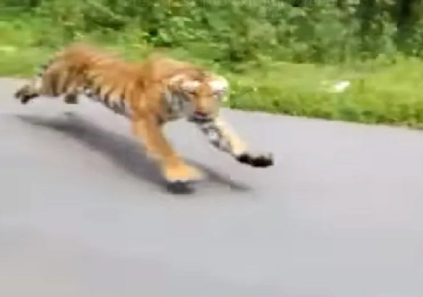 Image result for Tiger Chases Motorcycle On Road In India