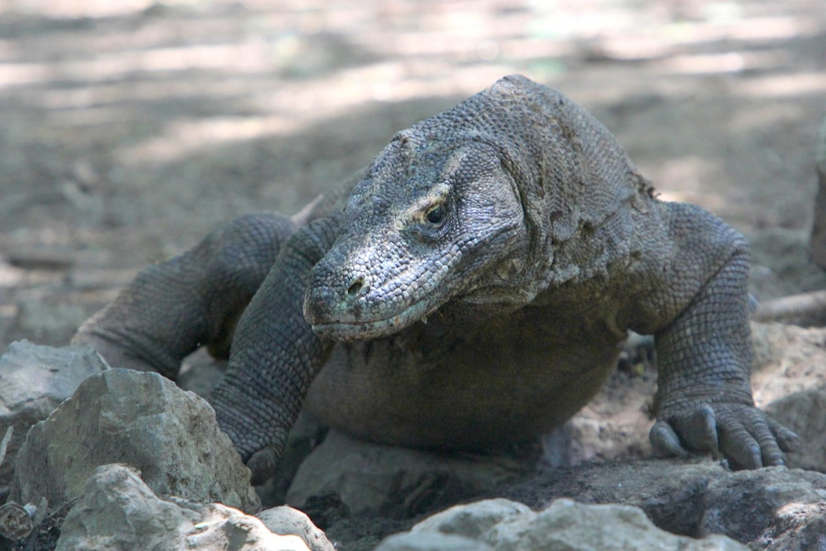 Komodo Dragon One Of Indonesia S Rare Conservation Success Stories