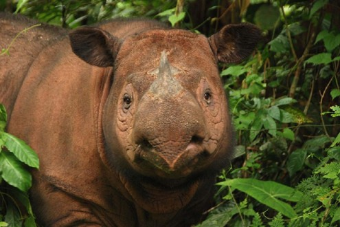 Image result for sumatran rhino