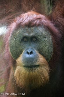 Adult male Sumatran orangutan in Gunung Leuser National Park. Photo by Rhett A. Butler