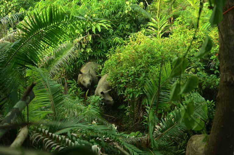 Newly spotted calves boost Javan rhino population to 72
