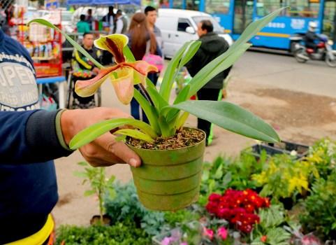 """Paphiopedilum villosum, una orquídea """"zapatilla"""" del sur de Asia en el Mercado Paloquemao en Bogotá.  Foto de Maximo Anderson para Mongabay."""