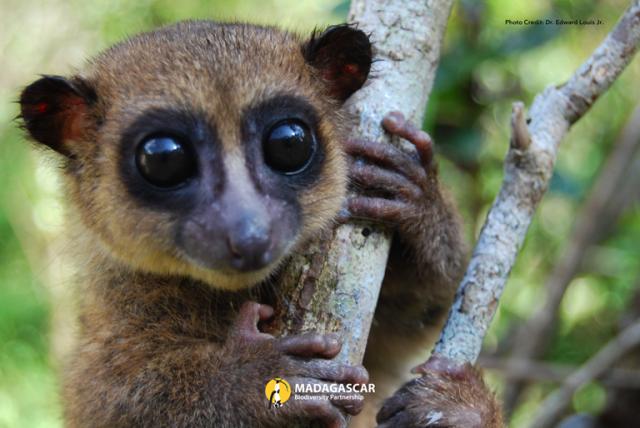 lemur madagascar