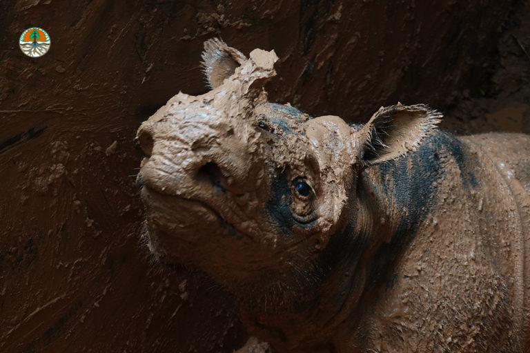 Indonesia plans IVF for recently captured Sumatran rhino