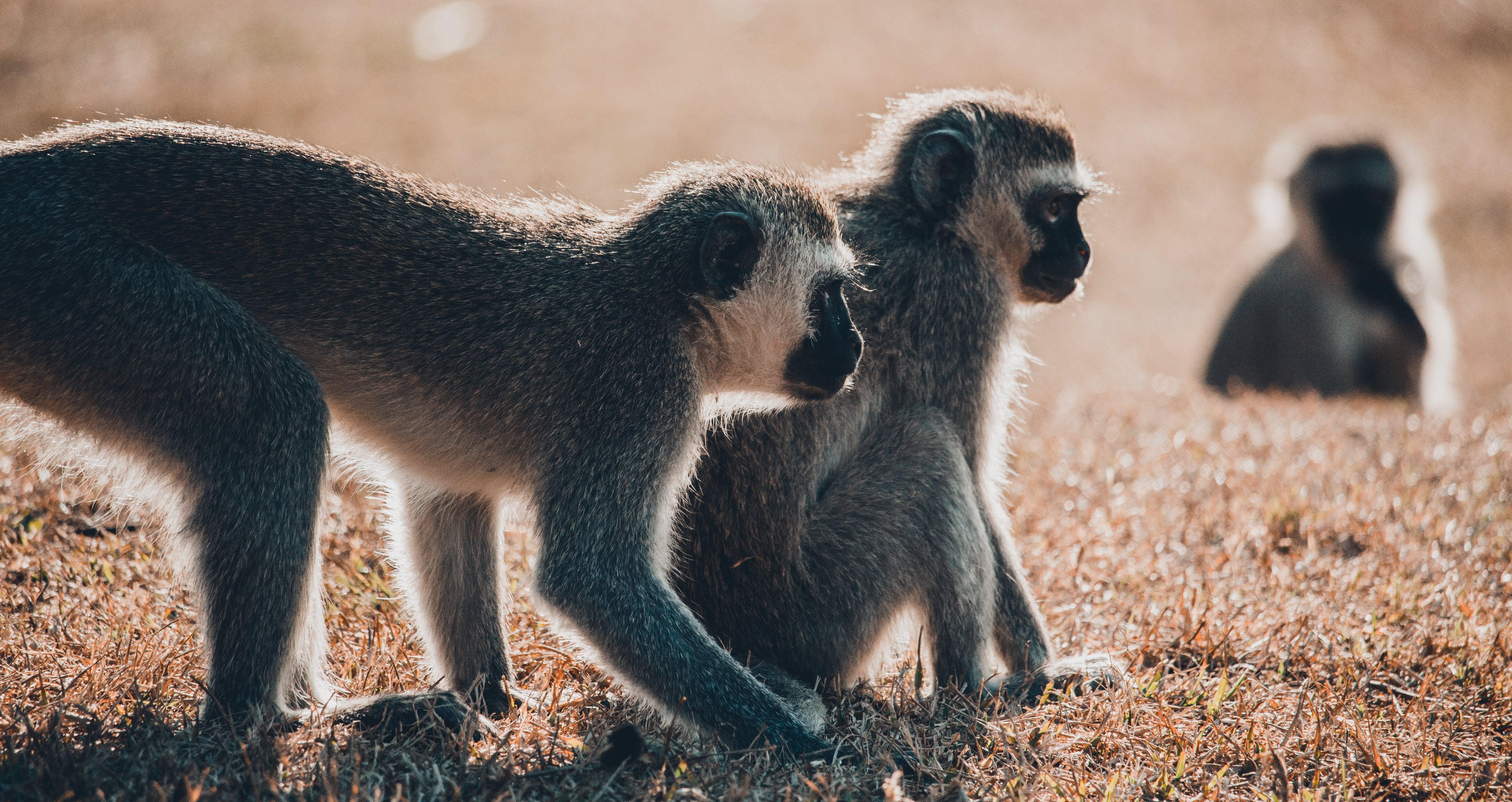 Vervet monkeys thrive despite habitat loss in South Africa