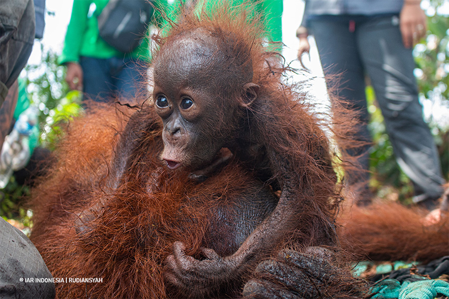 Burning and bullets: Forest fires push Bornean orangutans into harm's way