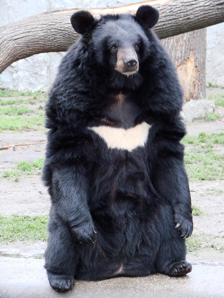 Chinese government reportedly recommending bear bile injections to treat coronavirus
