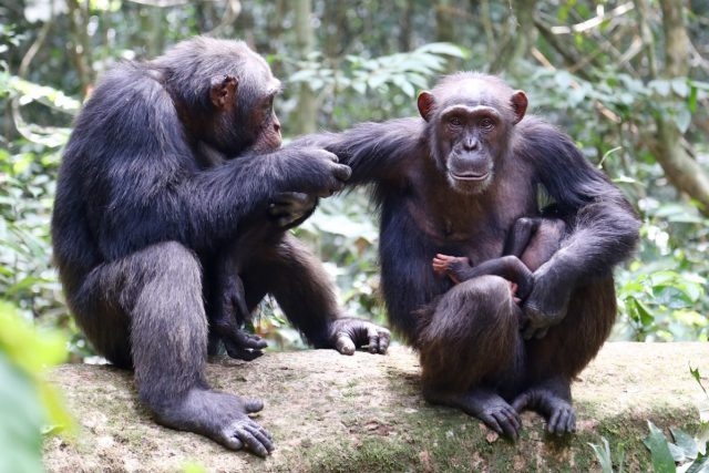 western chimpanzee, West African chimpanzee, scientific name Pan troglodytes verus
