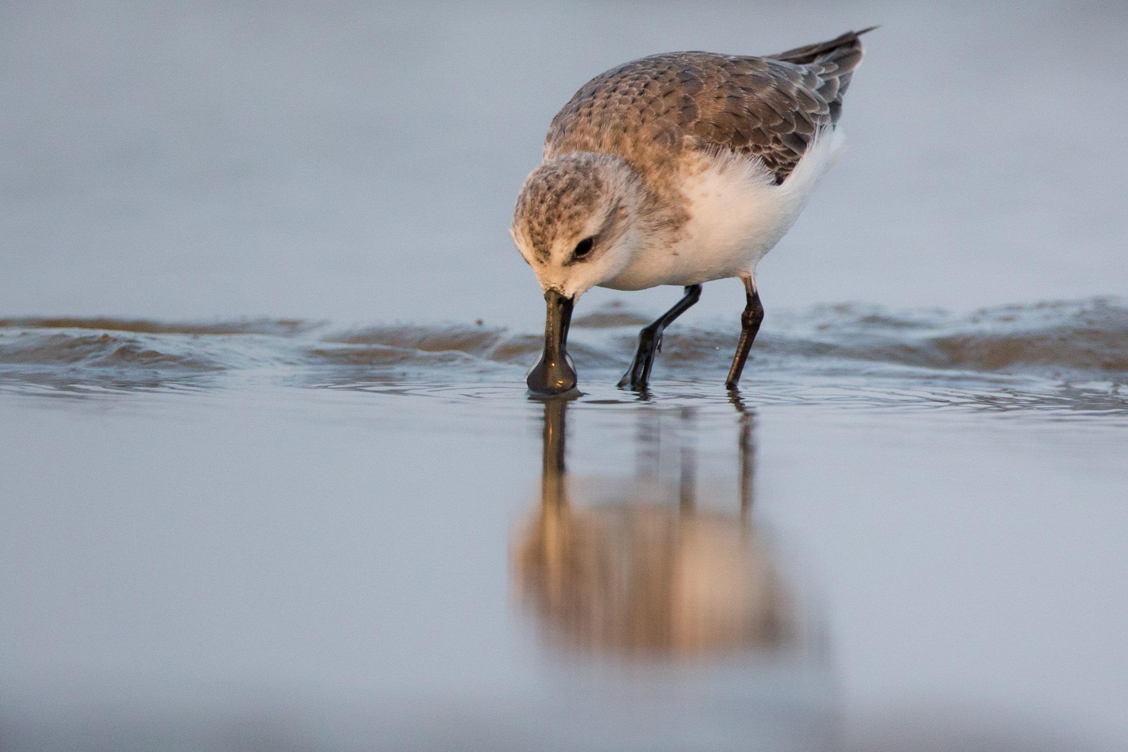 New study quantifies impact of hunting on migratory shorebird populations