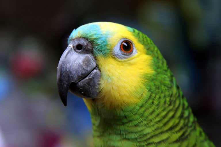 For Brazil's most trafficked parrot, the poaching is relentless