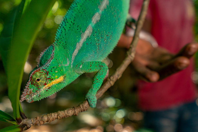 Pet trade relies on 'disposable' wild chameleons from Madagascar