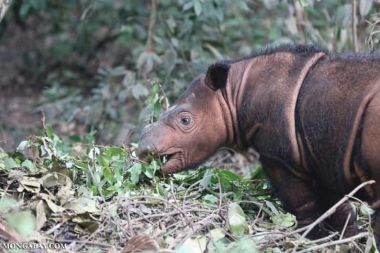 A baby Sumatran rhino in Indonesia. Image by Rhett A. Butler/Mongabay.