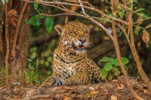 Electronic ears spy on poachers in a key Central American jaguar habitat