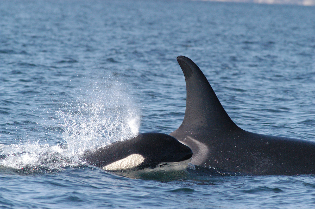 When Chinook salmon is off the menu, other prey will do for endangered orcas