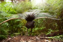 Male superb lyrebirds found to trick females into mating via masterful mimicry