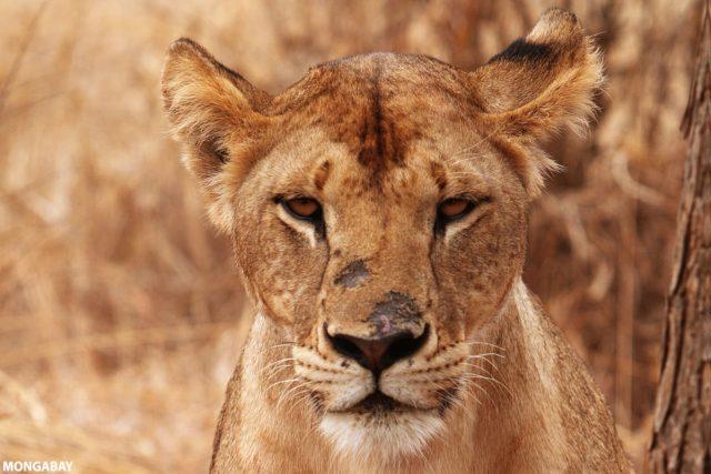 Lioness in Tanzania. Photo credit: Rhett A. Butler