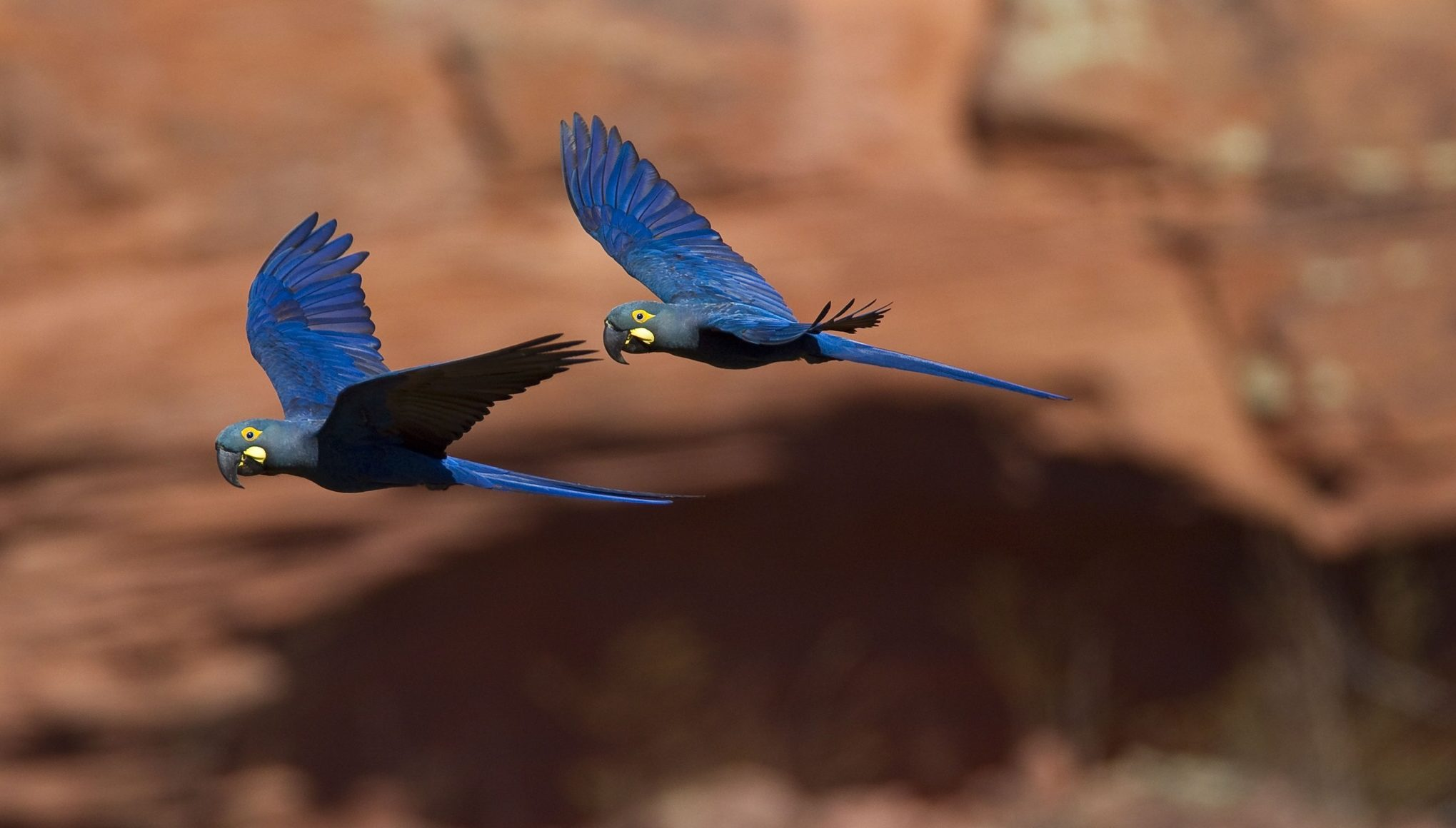 Lear's macaws threatened by planned wind farm in Brazil, experts warn