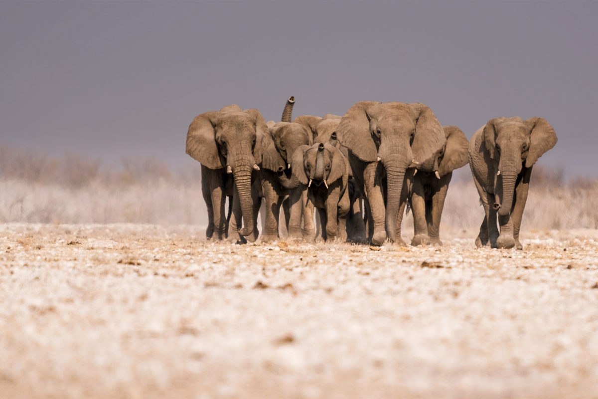 Humans are biggest factor defining elephant ranges across Africa, study finds