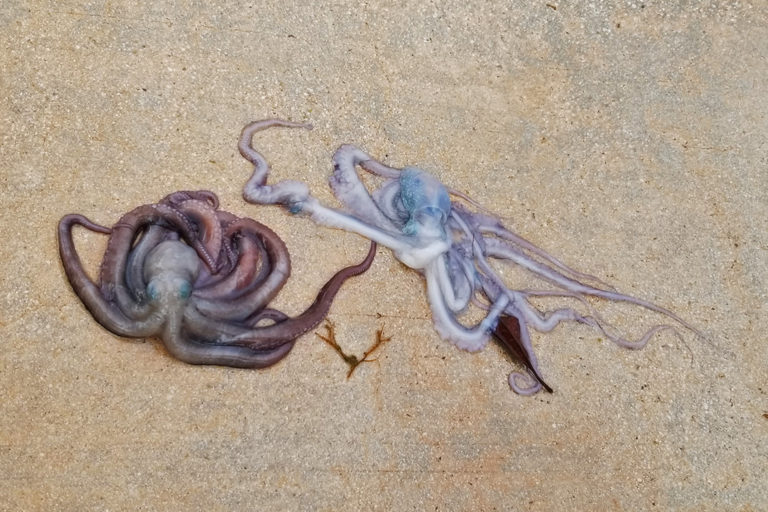 Two octopi found dead in Biscayne Bay