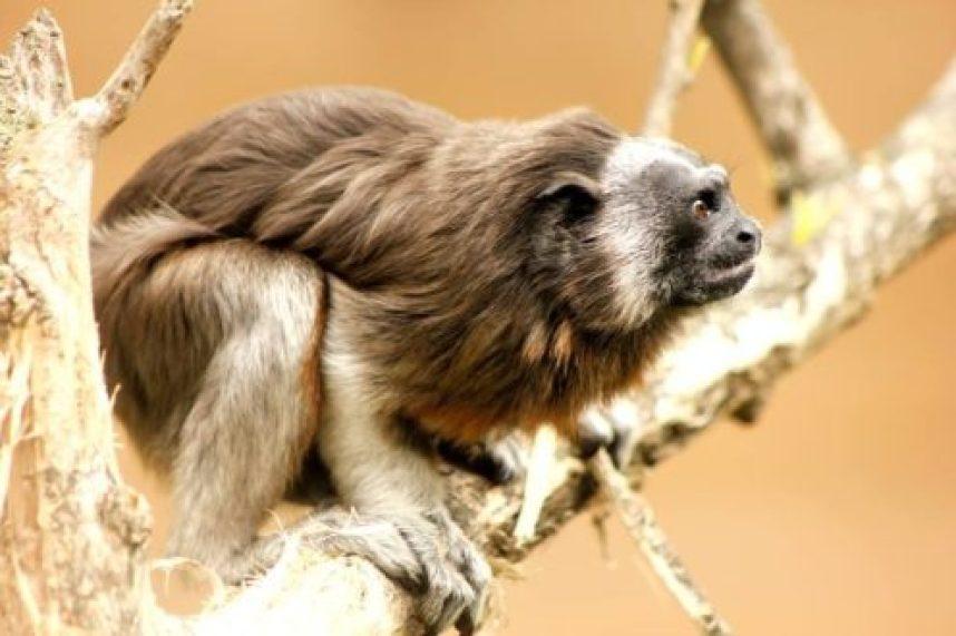 Foto del Programa de Conservación de Tití Gris.