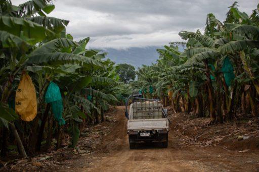 Las plantaciones de plátanos, en Filipinas, son el centro de conflictos por la tierra. Foto: Jeoffrey Maitem / Global Witness.