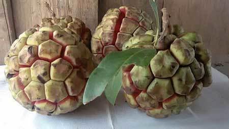 Na rừng nặng 5 kg, Thuận Châu, Sơn La ,  na rừng ở Sapa