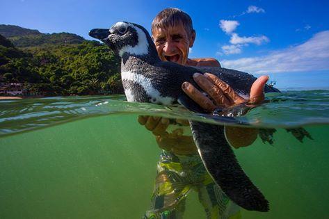 chim cánh cụt, chim cánh cụt bơi 8.000 km, chim cánh cụt thăm ân nhân