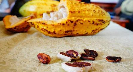 cây-cacao, cây-trồng, nông-nghiệp-bền-vững, nông-sản, cây-xuất-khẩu,