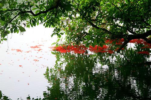 hoa lộc vừng, Bờ Hồ, Hồ Hoàn Kiếm