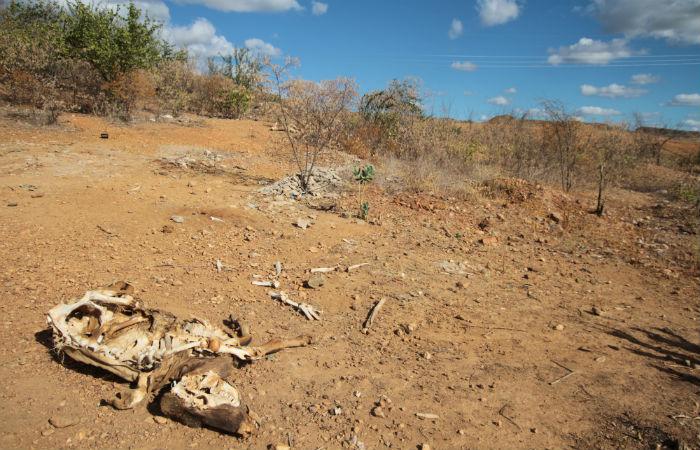 Animais morrem de sede no Sertão de PernambucoFoto: Annaclarice Almeida/DP/D.A Press