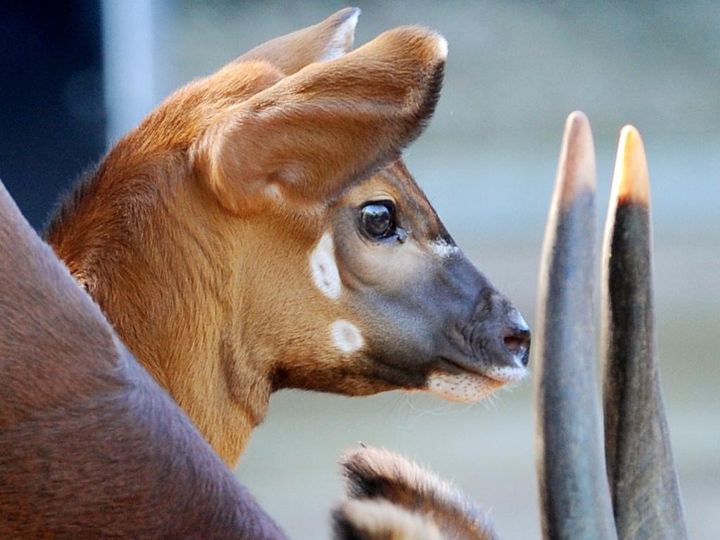 https://i2.wp.com/imguol.com/2012/04/13/filhote-de-bongo-com-duas-semanas-de-vida-acompanha-a-mae-durante-passeio-no-zoologico-de-taronga-em-sydney-na-australia-nesta-sexta-feira-13-os-bongos-uma-especie-de-antilope-comum-em-planaltos-1334295471378_1024x768.jpg