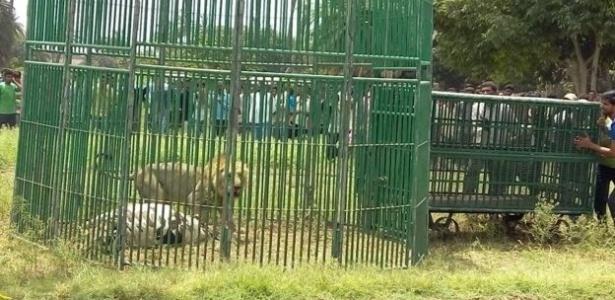 Leões foram 'presos' no Estado de Gujarat, na Índia