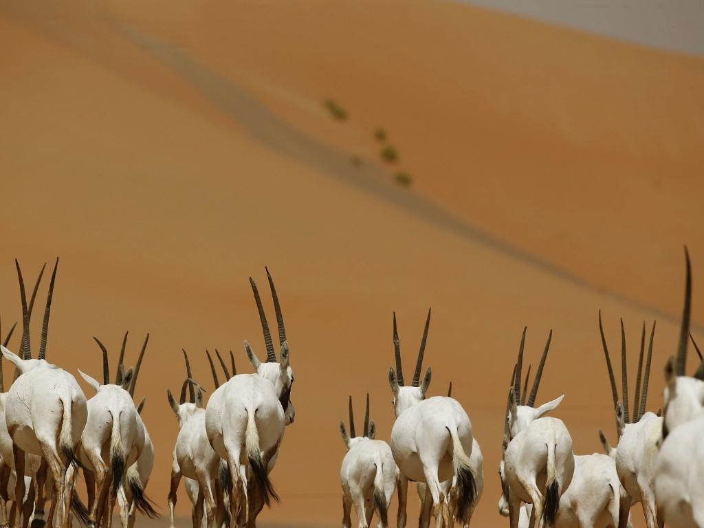 https://i2.wp.com/imguol.com/c/noticias/2015/04/10/10abr2015---oryx-arabian-caminham-no-oryx-sanctuary-arabian-em-umm-al-zamool-cerca-de-290-quilometros-ao-sul-de-abu-dhabi-perto-da-fronteira-da-arabia-saudita-nos-emirados-arabes-unidos-1428693260224_1024x768.jpg