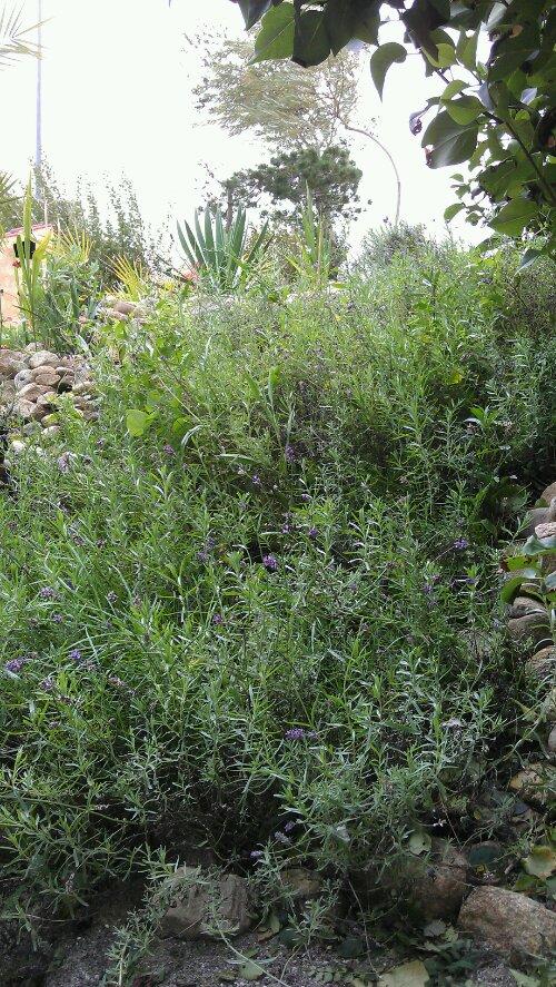 palme bjerget med blåbær, mynte, krydreurter, Yucca'er, lavendel