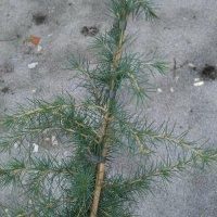 Plantetid idag - Ceder træ, Fatsia japonica og de hvide løg