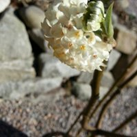 Edgeworthia chrysantha - ny papirbusk i haven...