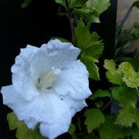 5 tips til en flot Hibiscus...