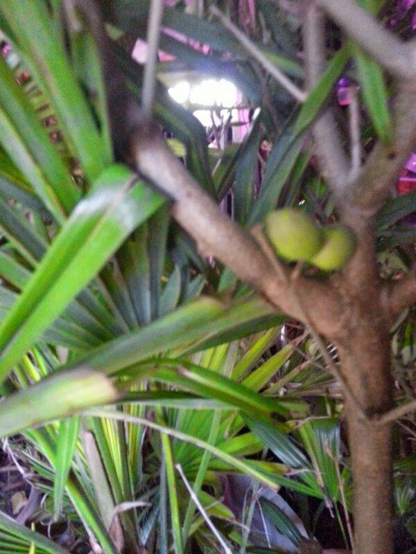 mine palmer og oliventræers vinterhi