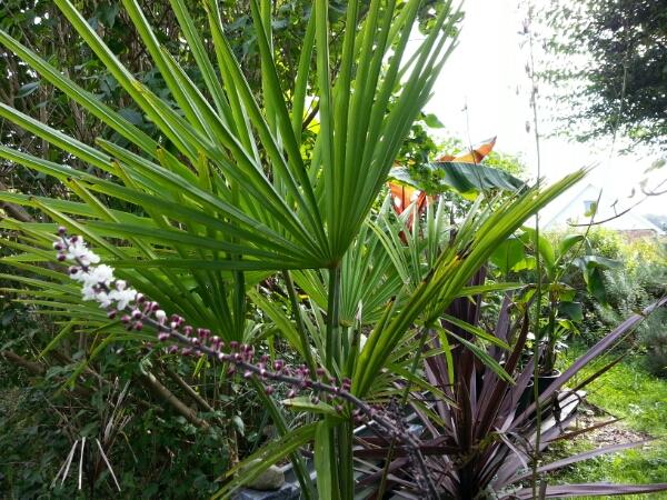 palme, yucca, trachycarpus fortunei, musabasjoo, agave, bambus - Copyright © iminhave.dk