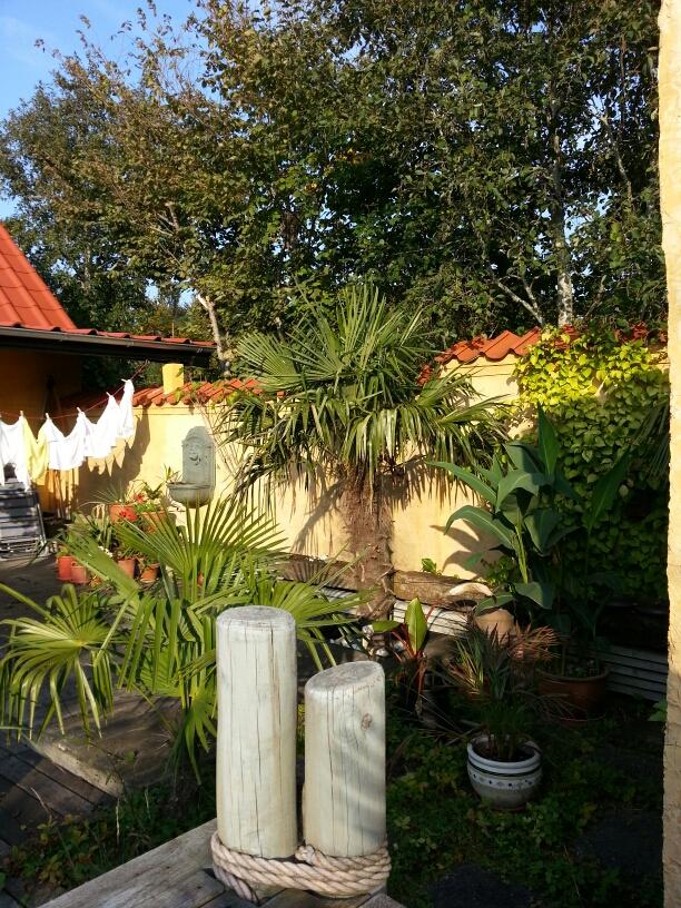 palme, yucca, trachycarpus fortunei, musabasjoo, bananaplante, deneksotiskehave, eksotiskhave, Copyright © iminhave.dk