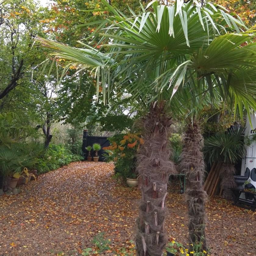 Hørpalmer af arten Trachycarpus Fortunei, i vores have i Nordjylland