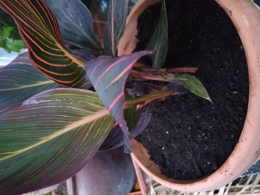 Ny Canna Durban og et plante tip