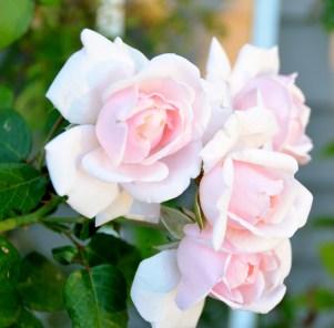 New Dawn Rose