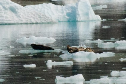 Some Harbor Seals taking a rest on some floating ice.