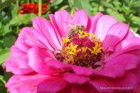 Zinie lila