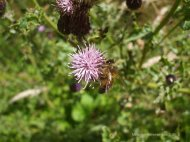 thistlebee02[1]