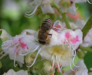 Biene beim Nektarsammeln an eine Kastanienblüte mit Pollen am Körper