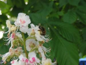 Biene beim Nektarsammeln in einer Kastanienblüte