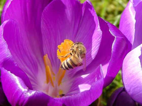 Honigbiene im Krokus