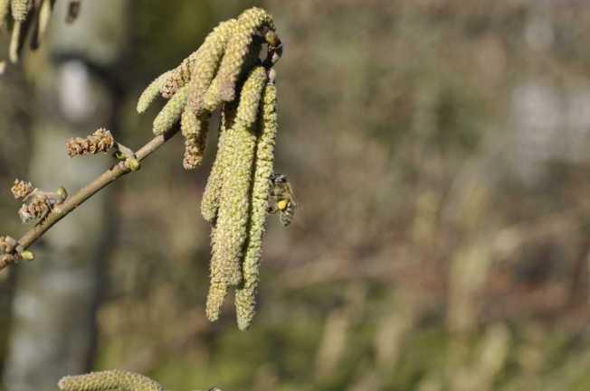 Erster Pollennahrung Mitte Februrar 2021
